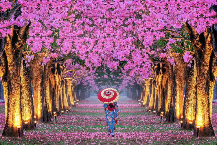 Rows of Beautiful pink flowers trees and Kimono girl. Plant Flower Tree Pink Color Flowering Plant Beauty In Nature Growth Nature One Person Freshness Tree Trunk Fragility Trunk Park Real People Women Park - Man Made Space Land Springtime Scenics - Nature Purple Outdoors Human Arm