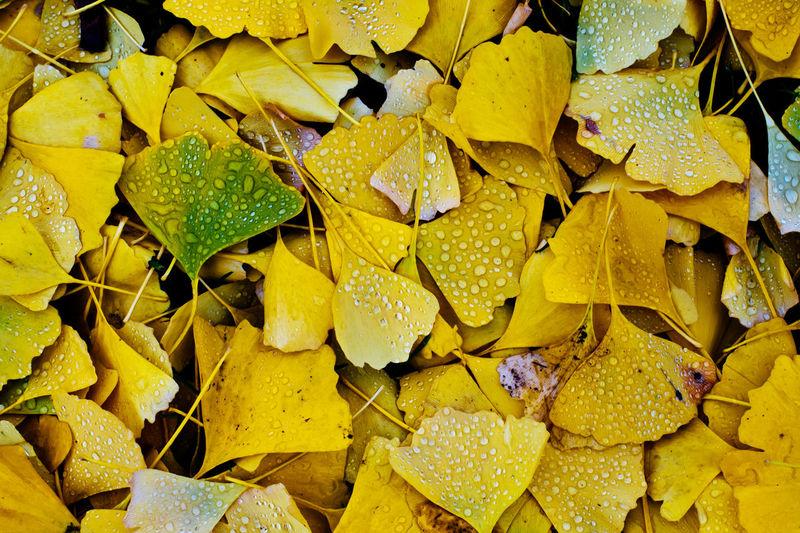 Full frame shot of yellow leaves