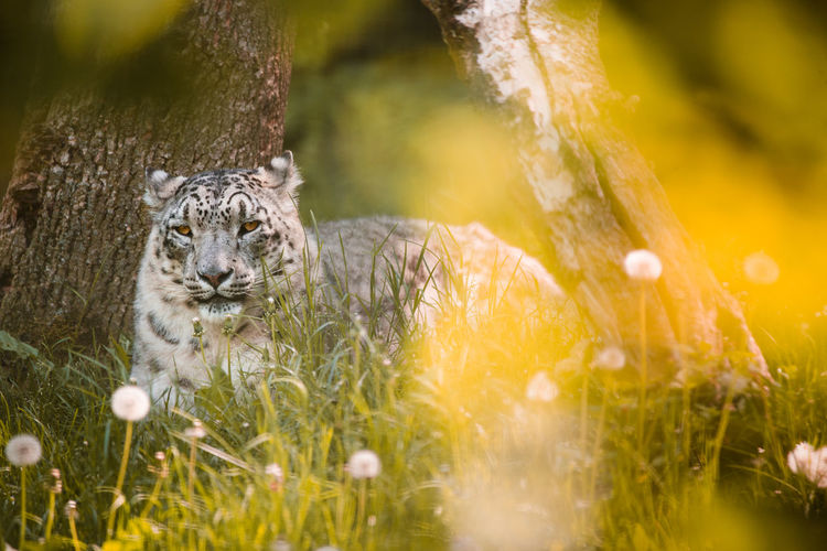 Portrait of snow leopard relaxing on grassy field
