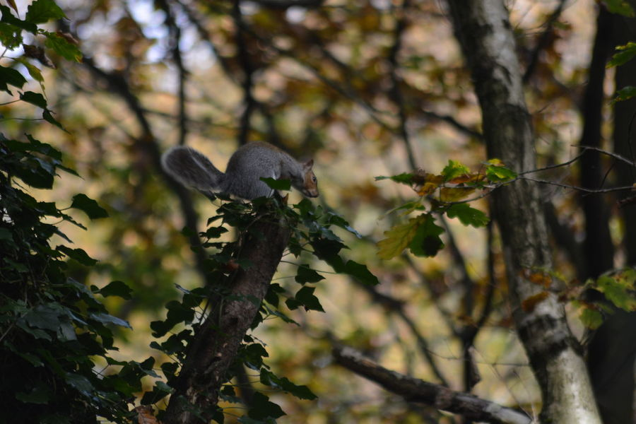 Allmyphotography Animal Wildlife Animals In The Wild Autumn Branch Day EyeEm Gallery EyeEm Nature Lover Growth Nature Nikonphotography NoEditNoFilter One Animal Outdoors Perching Squirrel Tree