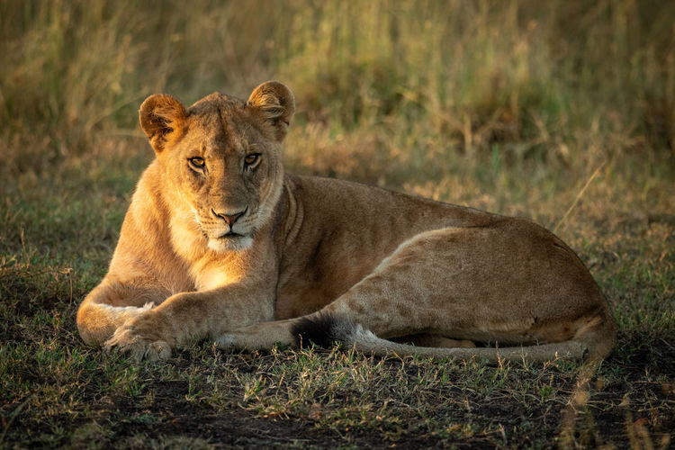 Portrait of lioness resting on field