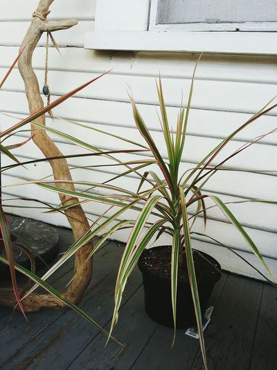 things on a porch leaves dracaena Grass driftwood Porch old Rustic house Things I Like Things That Are Green Plants 🌱 Leaves Dracaena Grass Driftwood Porch Old Rustic House Green Wood EyeEm Selects Close-up Plant Country House