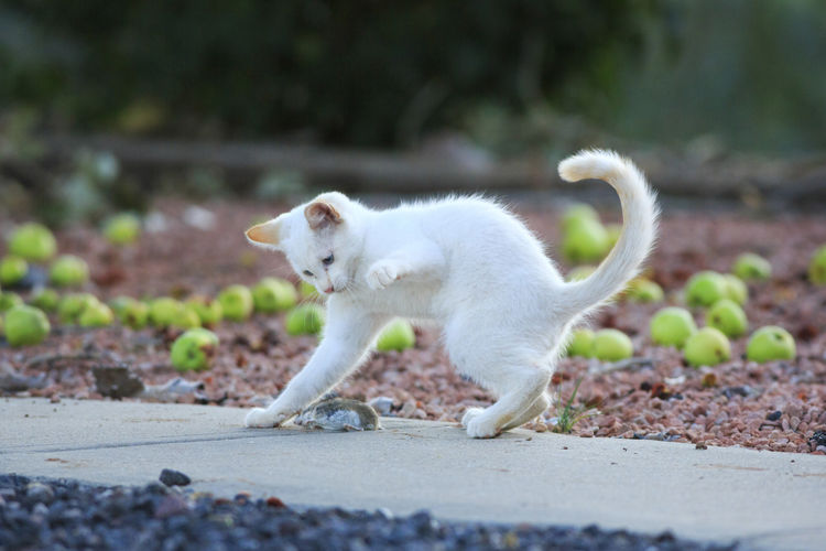 A game of cat and mouse Kitten Animal Themes Farm Cat Cat And Mouse White Cat Pest Control Animals Cats Ruthless Outdoors Cat Playing Cool Cats