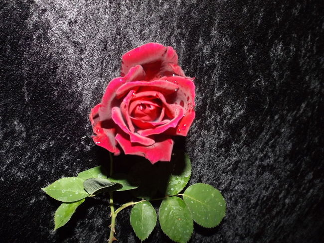 Beautiful Flower Black Velvet    Black Velvet Background Dew On Rose Flower Pinkfire Red Rose Smok Rose