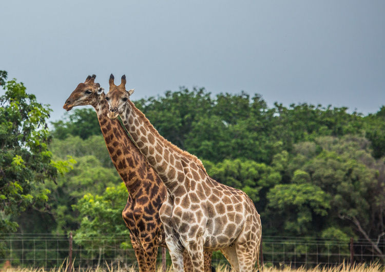 Giraffe standing in zoo