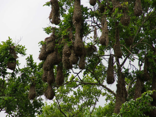 Jungle impression - Yaxha - Guatemala Birds Nest Day Forest Forest Photography Jungle Jungle Impression Jungle Plants Nature Nature Nature Photography No People Outdoors Tree Weaver Bird