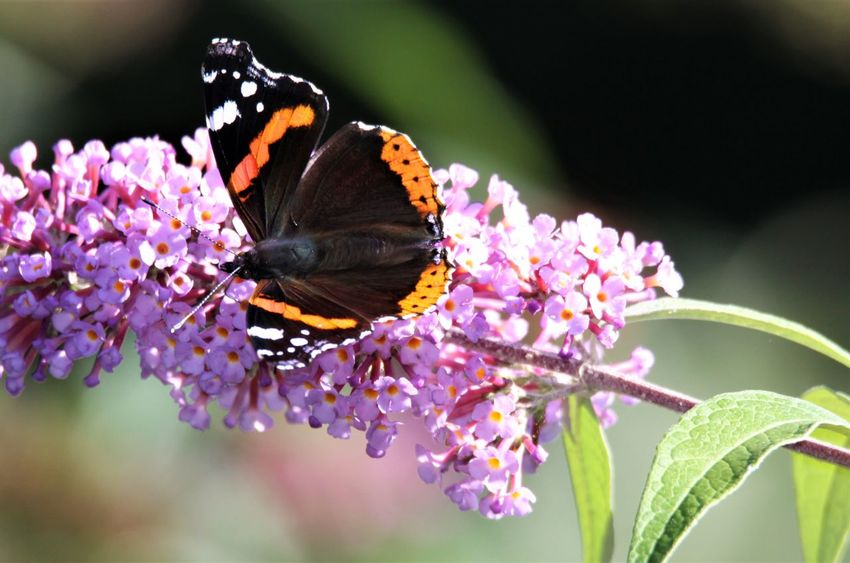 Butterfly Butterfly Summer Lilac Sommerflieder Germany Lilac Lilac Flower EyeEm Selects Flower Flowering Plant Animal Themes Animal Wildlife Animal Insect Beauty In Nature Invertebrate Plant Fragility One Animal Butterfly - Insect Vulnerability  Animal Wing Petal Growth Animals In The Wild Freshness Flower Head Pollination