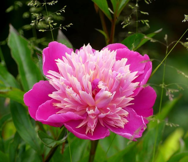 Day EyeEmNewHere Outdoors Focus On Foreground Growth No People Plant Fragility Beauty In Nature Close-up Petal Nature Flower Head Flower Freshness Peony Macro Peony Pink Peony  Pink