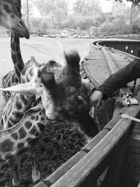Animals Giraffe Zoo Blackandwhite First Eyeem Photo