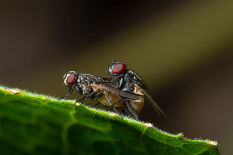 Close-up of houseflies mating on leaf