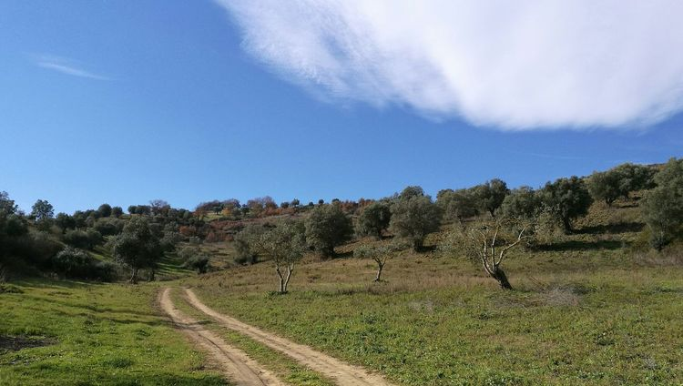 Calabria (Italy) Olive Trees Nature Agriculture Countryroad Mongrassano, Cosenza Hillside Sky