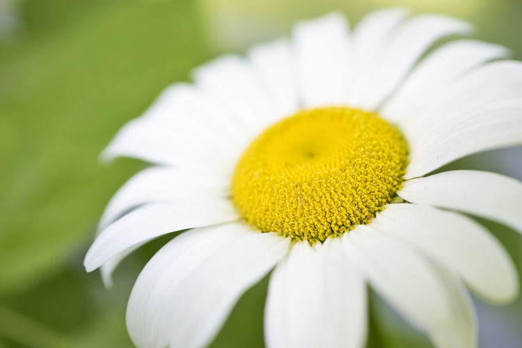 Another daisy! Beauty In Nature Blooming Close-up Daisy Day Flower Flower Head Fragility Freshness Growth Macro Macro Beauty Macro Photography Nature Nikon D810 No People Outdoors Petal Plant Yellow Hotel Art