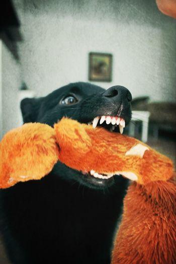 Pim Schipperke I Love My Dog My Dog Funny
