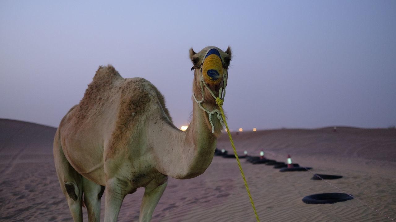Portrait of camel in desert at dusk