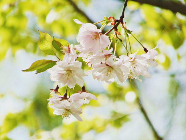 красота Природа сакура зелень  Вишня цветы Flowers Folowme