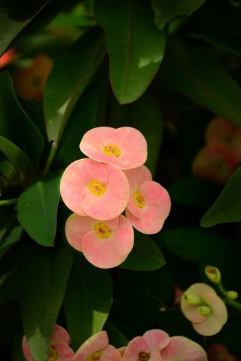 Poy Sian flowers with green leaf background Poy Sian Flower Pink Flowers Green Leaves Background Beautiful Nature Beauty In Nature Bright Outdoor Garden Fresh Outdoors White Flower Blossoming  Blossom Flowers Pink Flower Flower Flower Head Leaf Close-up Plant Blooming Petal Flowering Plant In Bloom