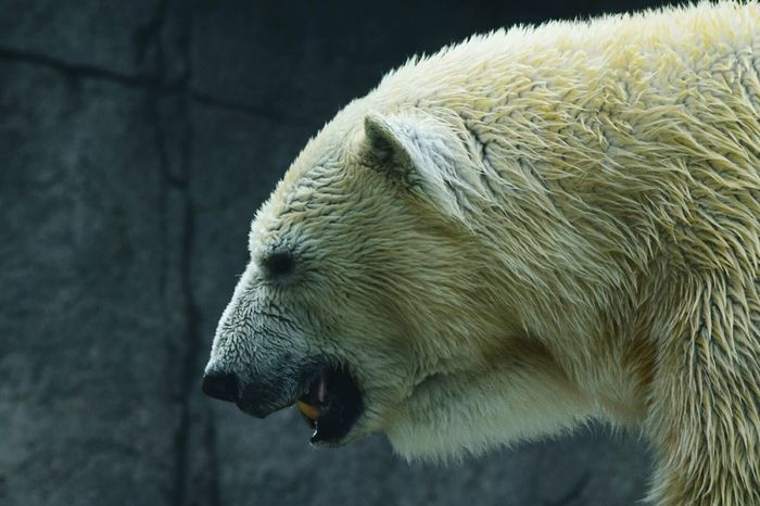 Tundra The Polar Bear Polar Bear Indianapolis Zoo Big Teeth We Will Miss You Going To Detroit! Animals RIP :(