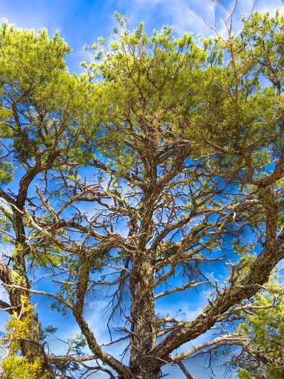"""""""Pine In The Sky"""" A Pinion Pine tree challenges the blue sky in Central New Mexico. Pine Woodland Pinion Pine Tree Nature Low Angle View Growth Beauty In Nature Day Branch Sky No People Forest Outdoors"""