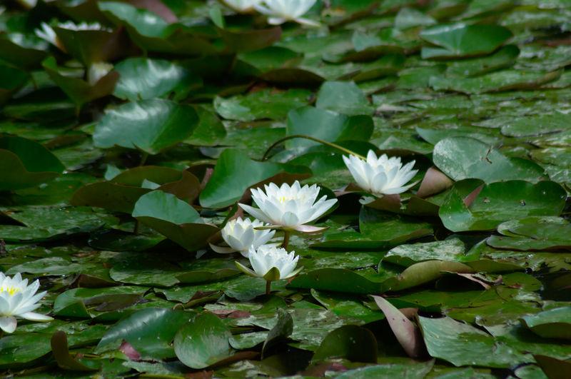 Sea Rose White