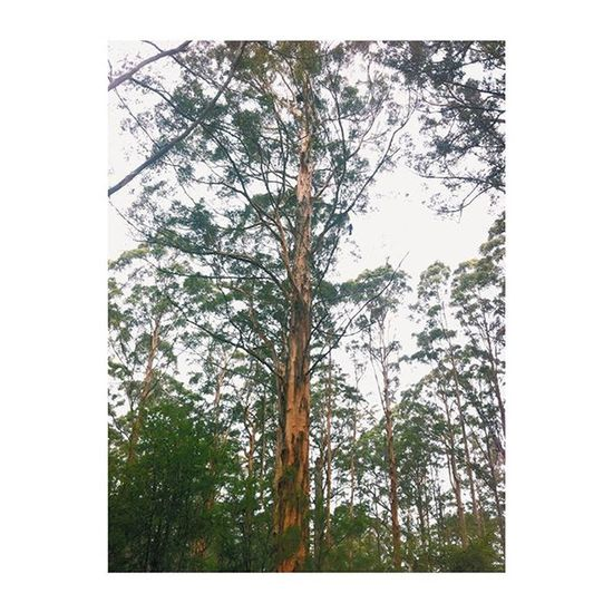 So went up in this one✔️ Zag Sterretjes Tree High Gloucester Pemberton Roadtrip Nature Nationalpark Australia Vscocam Instatravel Adventure Brother