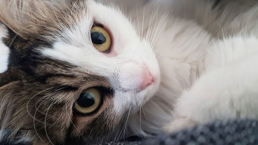 Pets Domestic Animals Domestic Cat One Animal Animal Themes Animal Head  Portrait Looking At Camera Eye Cute Close-up Mammal No People Indoors