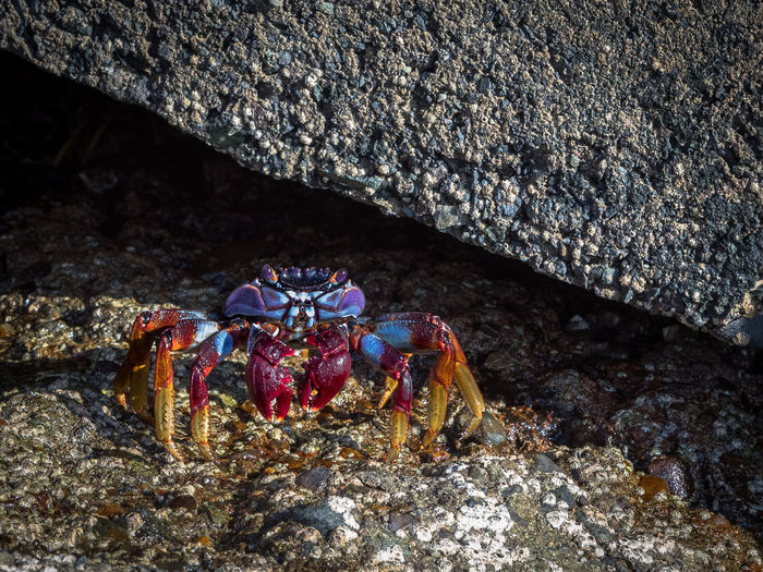 Gran Canaria Puerto Rico Animal Themes Animal Wildlife Animals In The Wild Beach Beauty In Nature Blue Close-up Colorful Crab Crustacean Day Grapsus Adscensionis Hermit Crab Nature No People One Animal Outdoors Red Rock Crab Sand Sea Sea Life UnderSea Underwater
