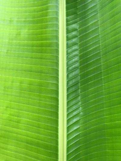 The texture of green fresh banana leaf. Green Color Leaf Plant Part Backgrounds No People Full Frame Nature Banana Leaf Beauty In Nature Palm Tree Natural Pattern Pattern Growth Freshness Leaf Vein Close-up Leaves Outdoors Plant Palm Leaf
