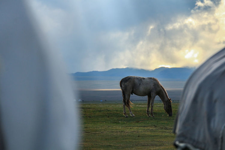 A horse and yurts Kyrgyzstan Travel Travel Photography Animal Cloud - Sky Domestic Animals Field Grass Grazing Horse Land Livestock Nature No People Sunset Travel Destinations Yurt Yurt Camp