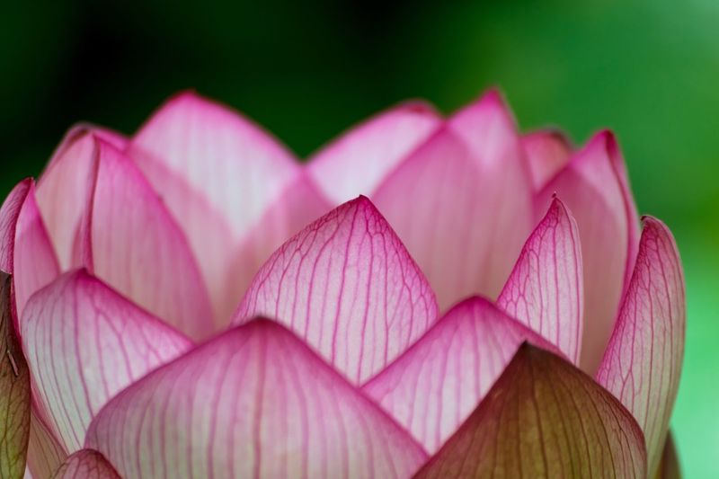 Pink Color No People Close-up Day Outdoors Lotus Flower Lotus Petal Beauty In Nature Plant Nature Freshness Blooming Pink Flower Macro Flower Blossom 🌸 Nikon100