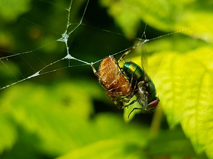 Close-up of spider hunting fly on web