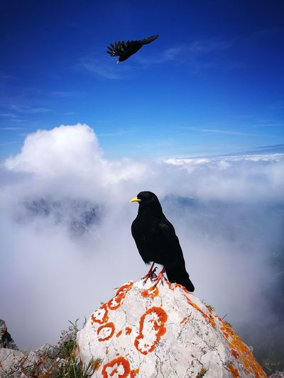 Blackbird on mountain against cloudy sky