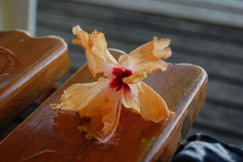 Tropical flower Beachcomber Island. Fiji Wood - Material Close-up Freshness No People Flower High Angle View Table Flowering Plant Orange Color Nature Beauty In Nature Petal Plant Indoors  Selective Focus Day Still Life Seat Fragility Flower Head Maple Leaf Tropical Climate Tropical Flower