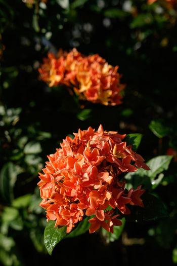 Close-up of orange marigold flower