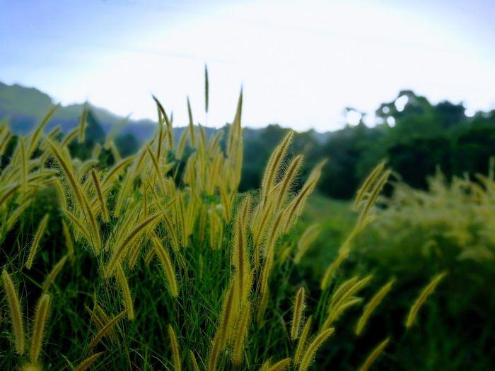 Flowers,Plants & Garden Takuapa Grass Flowers Grass And Sky Grass Photography