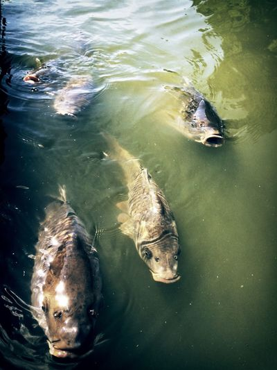 High angle view of carps swimming in pond