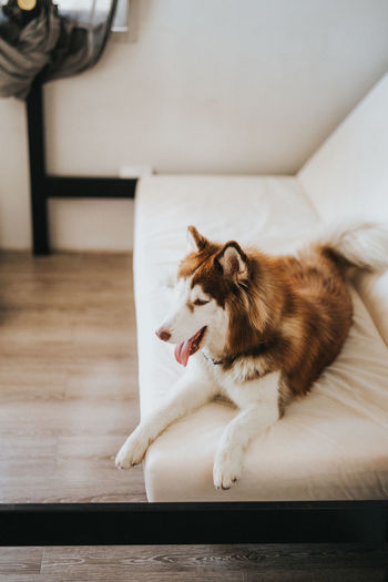 Siberian Husky Domestic Pets Mammal Domestic Animals Animal Themes One Animal Animal Canine Dog Indoors  Vertebrate Flooring No People Home Interior Hardwood Floor Wood Sofa Facial Expression Yawning Mouth Open Aggression