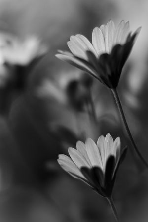 Depth Of Field My Favorite Photo Bokehlicious Bokeh 50mm 1.4 Plants And Flowers EyeEm Best Shots EyeEm Nature Lover Naturelovers Nature On Your Doorstep Nature Photography Nature_collection Nature Flower Flowerporn Flower Collection Flowers Spring Flowers Selective Focus Monochrome Black And White Black & White Things I Like Monochrome Photography Black And White Photography