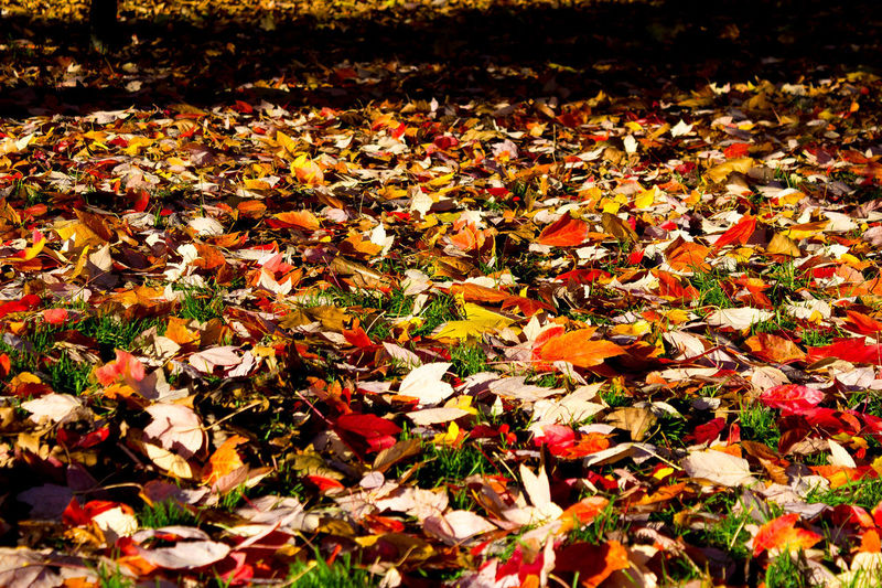Autumn Leaf Change Nature Leaves Dry Beauty In Nature Abundance No People Outdoors Red Day Multi Colored