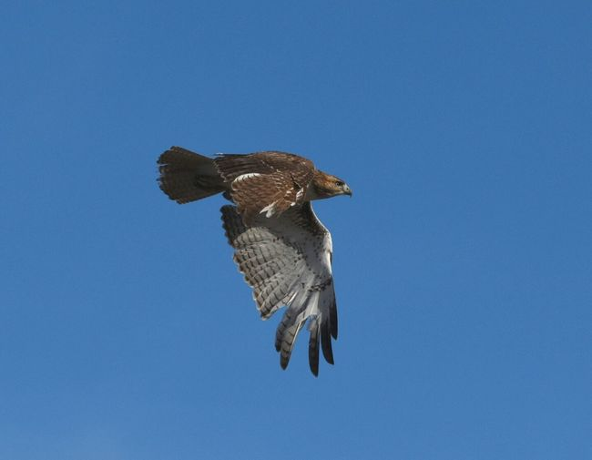 Low angle view of hawk flying in clear blue sky