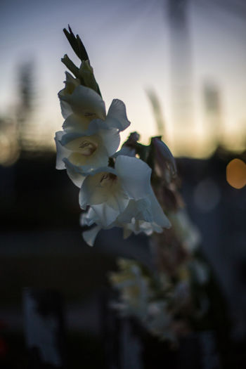 White flower in low light Beauty In Nature Blooming Blossom Bokeh Bokeh Photography Clear Sky Close-up Flower Flower Head Focus On Foreground Fragility Freshness Getting Dark Glow In The Sky Low Light Nature No People Outdoors Petal Selective Focus Sky Springtime Street White Color Yellow Glow