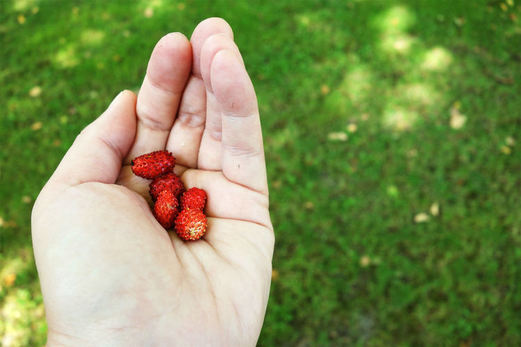Cropped image of hand holding wild strawberries