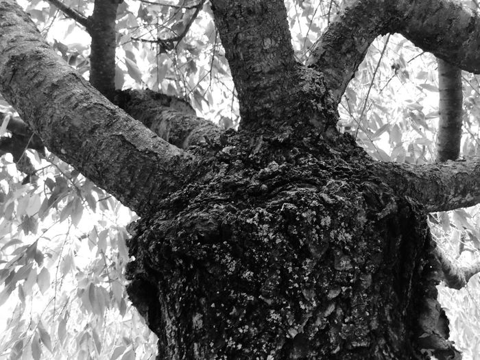 Tree Trunk Knarled Tree Black And White Branch Nature Growth Low Angle View Day Outdoors Bark Beauty In Nature No People Close-up Sky