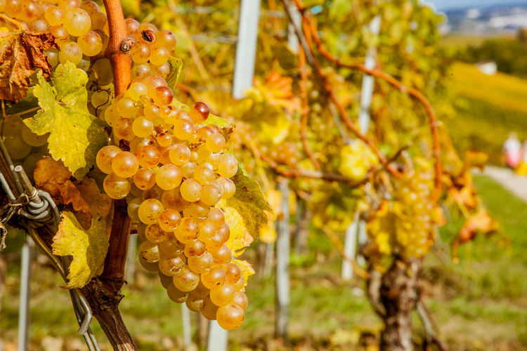 Agriculture Beauty In Nature Close-up Focus On Foreground Food And Drink Freshness Grape Nature No People Vineyard Vineyards  White Grapes Winemaking