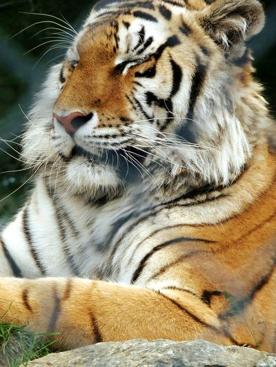 Winking Cat One Animal Animal Themes Tiger Animals In The Wild No People Mammal Close-up Day Outdoors close-up tiger