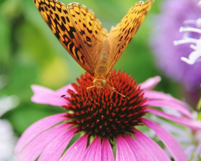 Grandfather Mountain North Carolina Macro Butterflies Macrobutterfly Butterfly Macro Butterfly Macro Photography Butterfly And Flowers