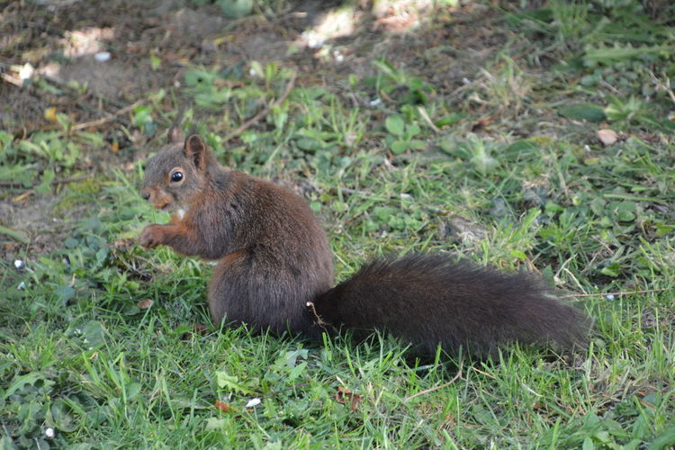 Squirrel Eichhörnchen Animals In The Wild Animal Wildlife Animal Themes Animal One Animal Mammal Rodent Land Vertebrate Field Nature No People Day Side View Plant Grass Focus On Foreground Outdoors Green Color