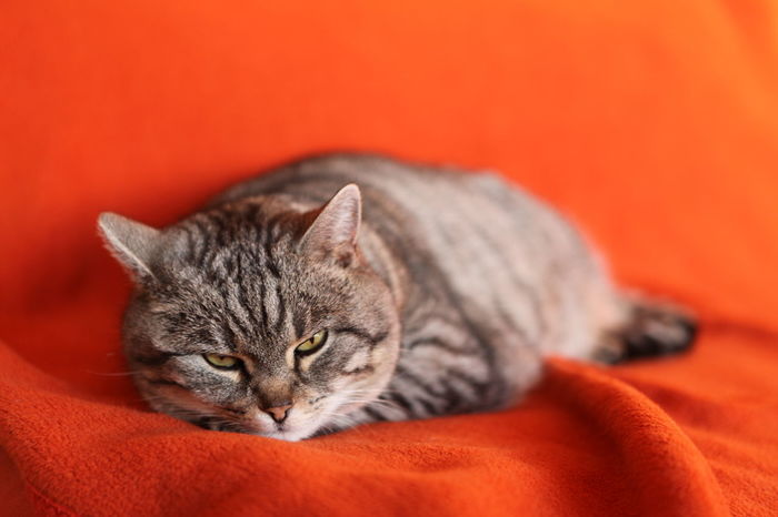 Cat Catlovers Comfortable Orange Background Pets Relaxing Shades Of Grey Sleeping Tabby Taking A Rest  Tiger Pet Portraits