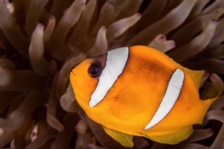 Anemone fish, Red Sea Anemone Fish Anemone SCUBA Scuba Diving Animals In The Wild Animal Animal Themes Vertebrate One Animal Animal Wildlife Water Close-up Underwater Fish UnderSea Sea Life Marine No People Beauty In Nature Clown Fish Coral Orange Color Nature Sea