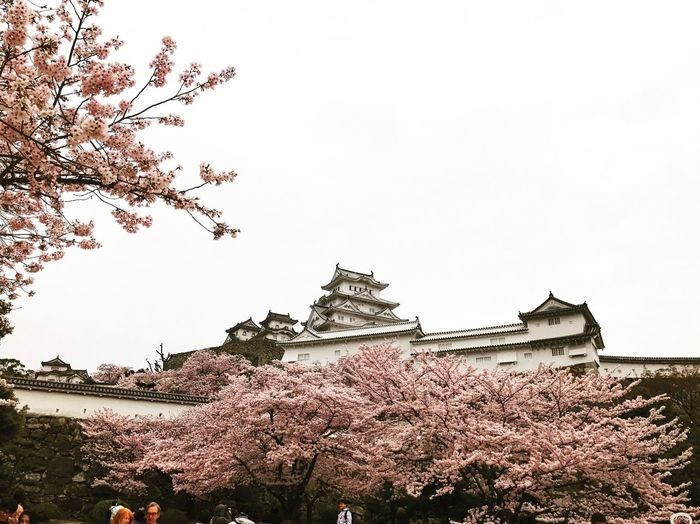 Building Exterior Architecture Tree Built Structure Low Angle View Sky Nature No People Fragility Growth Outdoors Traditional Building Beauty In Nature Branch Freshness Castle Himeji Castle Cherry Tree Cherry Blossoms Blossoms  In Bloom EyeEm Best Shots EyeEmBestPics EyeEm Best Edits EyeEm Gallery