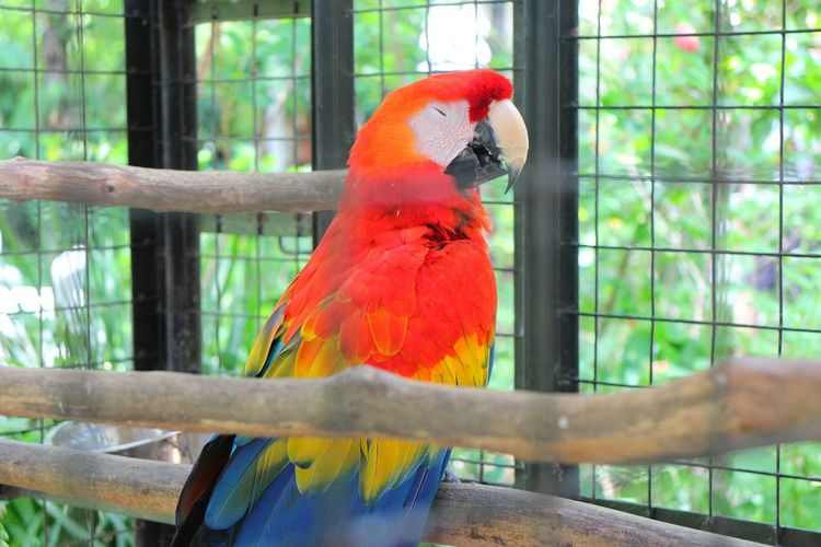 Parrot Bird Cage Birdcage Vibrant Color Beauty In Nature Multi Colored Tropical Climate One Animal Nature Trapped Animal Wildlife Animal Themes No People Red Bird In A Cage